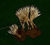 Tremellodendron tenax image