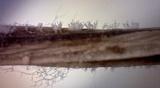 Image of Cylindrocladium buxicola