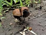 Psilocybe subcaerulipes image