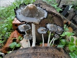 Coprinopsis narcotica image