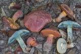 Butyriboletus floridanus image