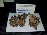 Bunodophoron melanocarpum image
