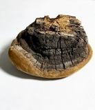 Phellinus badius image