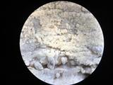 Botryobasidium conspersum image