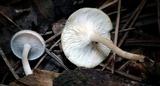 Clitocybe americana image