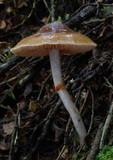 Cortinarius cucumeris image