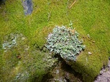 Image of Cladonia artuata