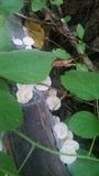 Marasmiellus albus-corticis image