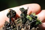 Coryne atrovirens image