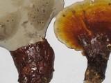 Ganoderma meredithiae image