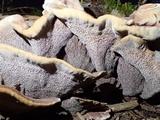 Phellodon atratus image