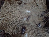 Gomphus bonarii image