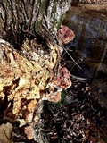 Ganoderma sessiliforme image
