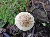 Psathyrella maculata image