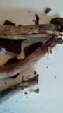 Agaricus subrufescens image