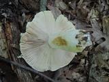 Russula inopina image