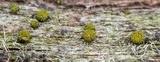 Berkleasmium conglobatum image