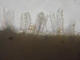 Cortinarius subtortus image