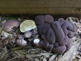 Lycoperdon subincarnatum image
