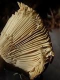 Russula occidentalis image