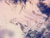 Geoglossum alveolatum image