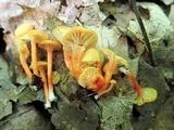Hygrocybe parvula image