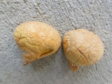 Calvatia rubroflava image