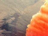 Russula pulchra image