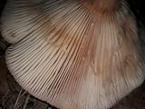Lactarius helvus image