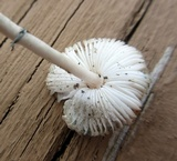Leucoagaricus caerulescens image