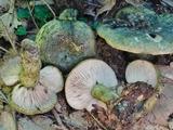 Lactarius atroviridis image