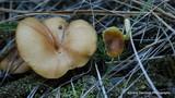 Tricholomopsis flammula image