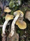 Tricholoma davisiae image