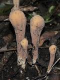 Clavariadelphus americanus image
