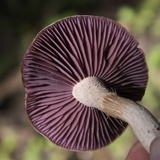 Laccaria ochropurpurea image