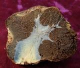 Gastroboletus ruber image