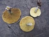 Suillus acidus image