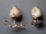 Agaricus bresadolanus image