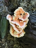 Laetiporus cincinnatus image