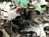Craterellus fallax image