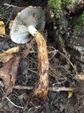Hemistropharia albocrenulata image