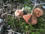 Lactarius fragilis image