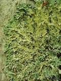 Parmelia squarrosa image