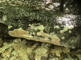 Physisporinus vitreus image