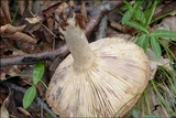 Lactarius luridus image