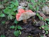 Russula subpunctata image
