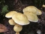 Pholiota alnicola var. alnicola image