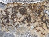 Caloplaca ochracea image