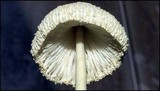 Leucocoprinus straminellus image