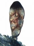 Caloplaca pyracea image